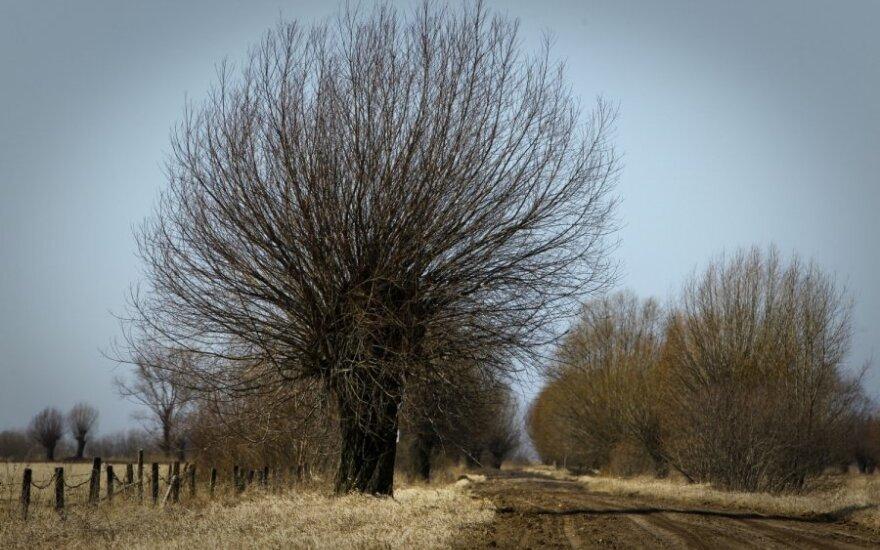 Pakelės medžiai kasmet pareikalauja vairuotojų gyvybių