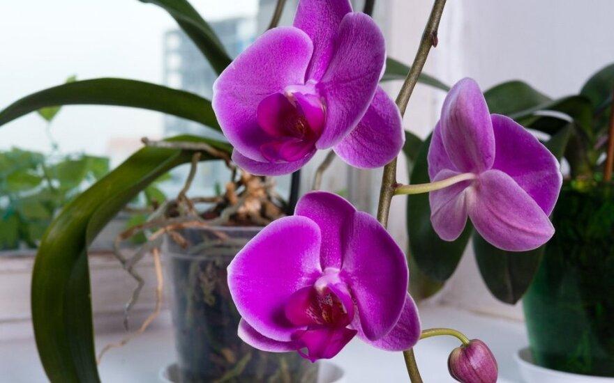Auksinės orchidėjų priežiūros taisyklės: kai kurias sužinosite pirmą kartą