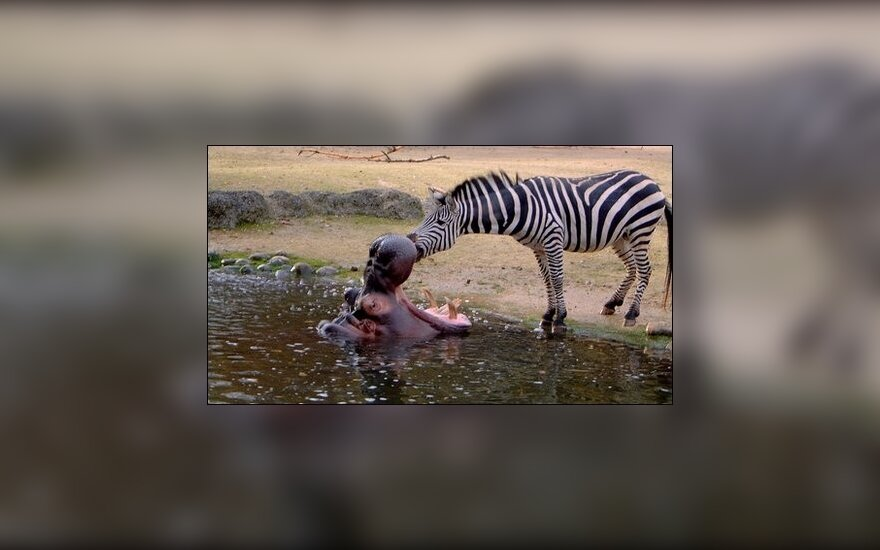 Zebras valo begemoto dantis, J.Sonsteby/Solent News nuotr.