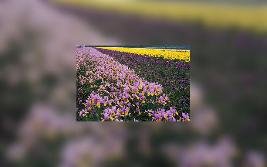 Irisai, vilkdalgiai