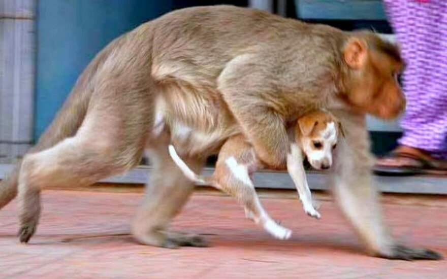 """Dabar jau matėme viską! Beždžionėlė saugo <span style=""""color: #c00000;"""">gatvėmis klaidžiojantį</span> mažylį nuo visų pavojų"""