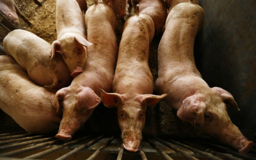 African swine fever descends upon entire Jonava region