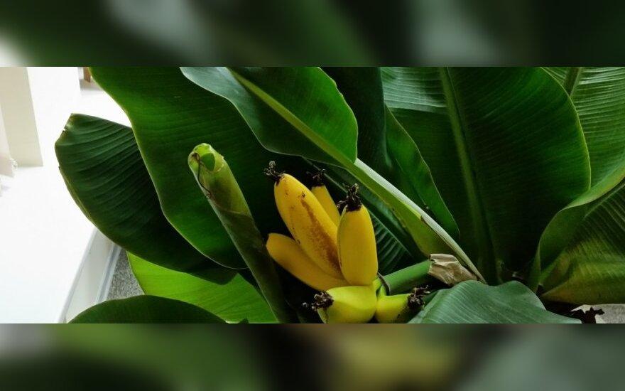 Papasakojo, kaip Lietuvoje užsiauginti bananų