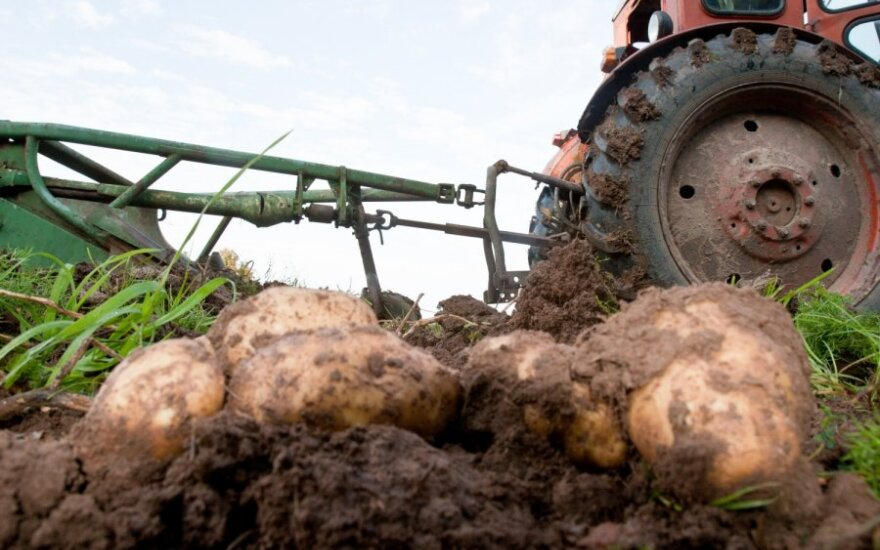 Ekologiškas bulves išauginti nelengva
