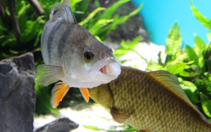 Ešerys akvariume