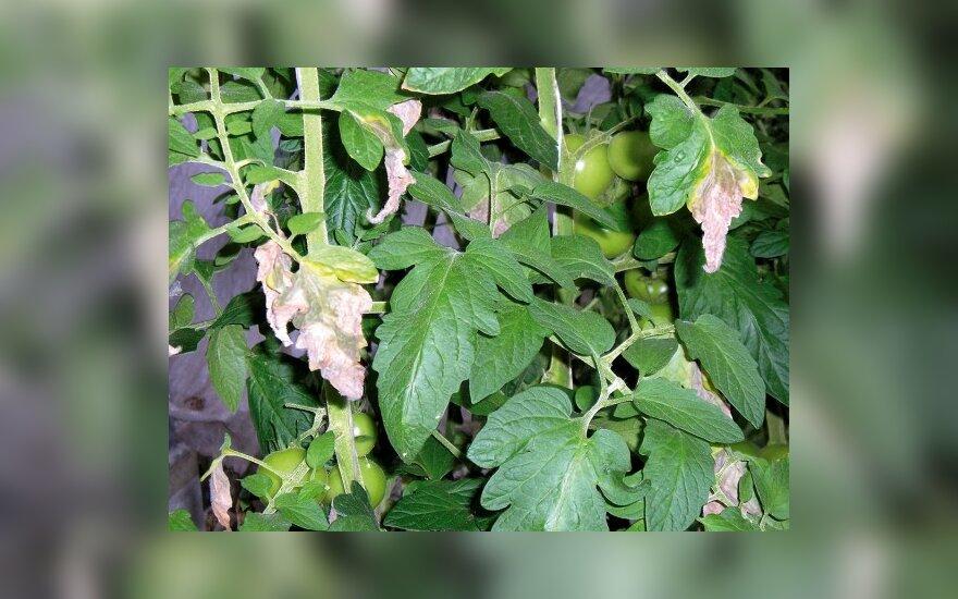 Dėl per didelės drėgmės pomidorų lapai pūva