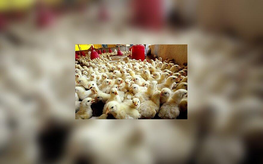 Vištiena, vištos, viščiukai