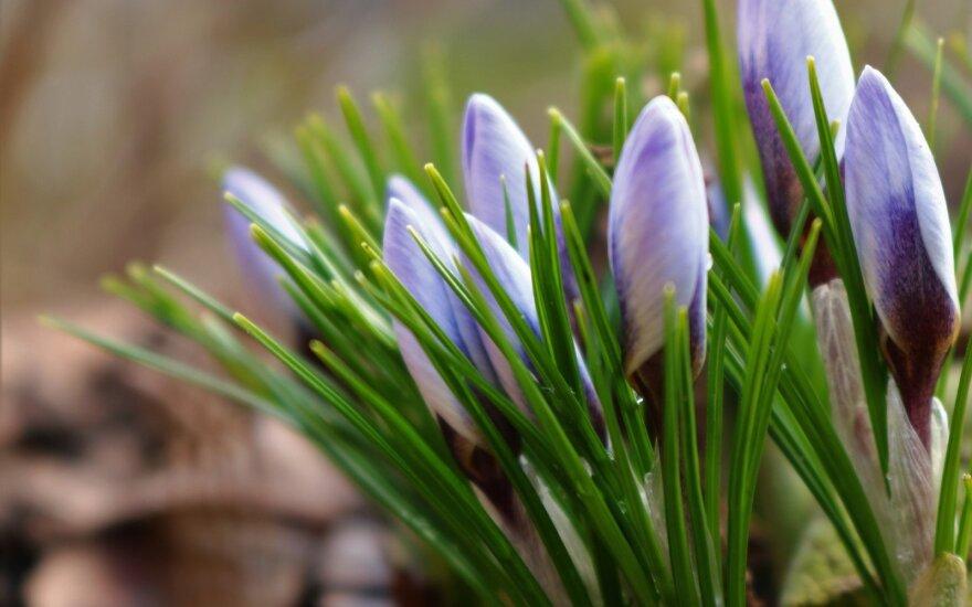 Pirmieji pavasariniai augalai