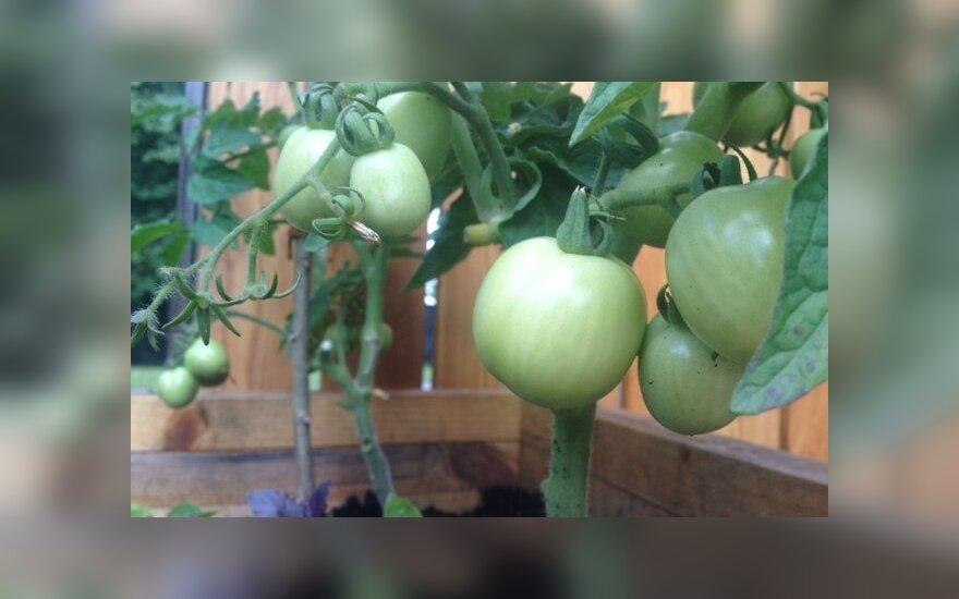 Daržas namuose: pomidorai