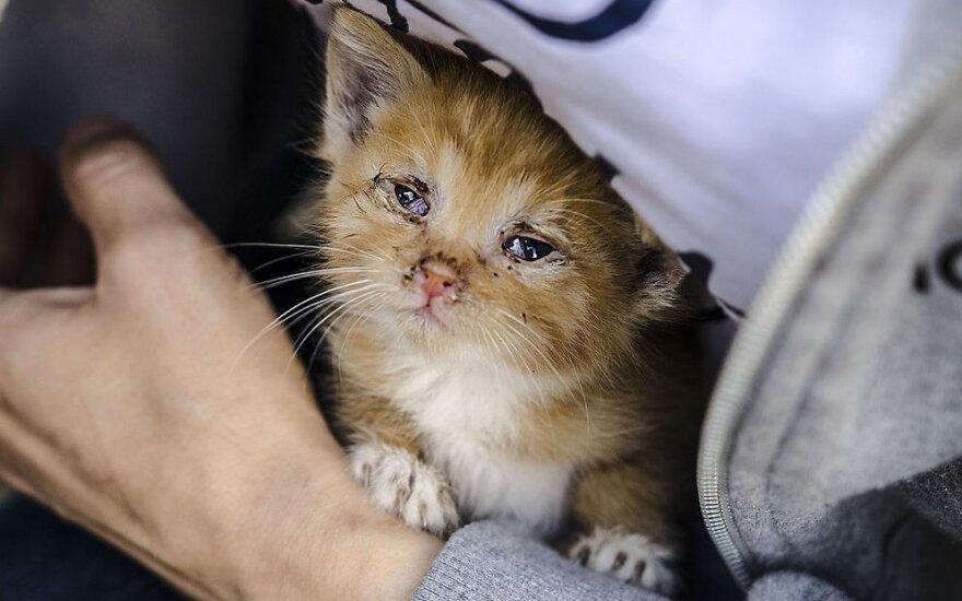 Gyvūnų gelbėtojams svyra rankos: gatvėje rado daug apleistų sergančių kačiukų