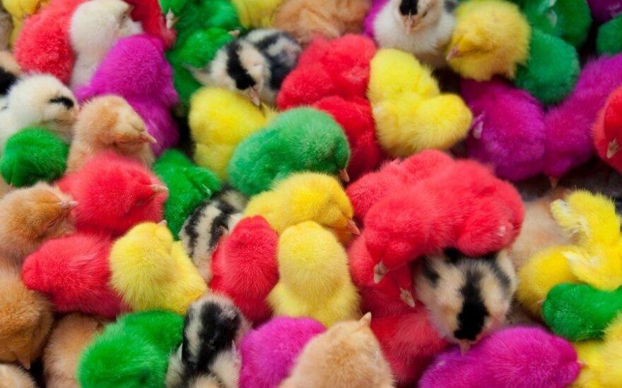 Viščiukų dažymas per Velykas