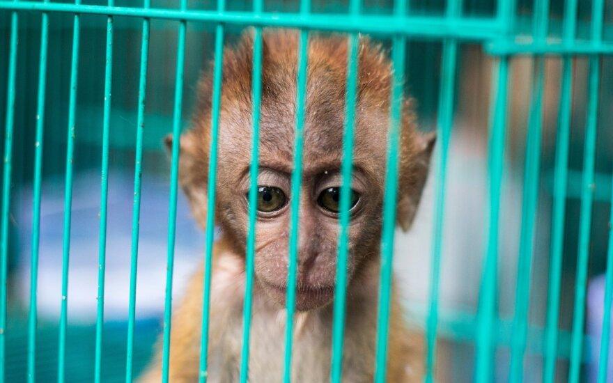Beždžionė.