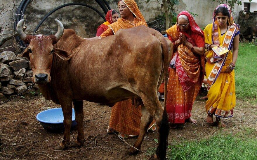 Karvė Indijoje yra šventas gyvūnas