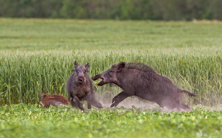 K. Mažeika. Naktiniai taikikliai medžioklėje - nomenklatūrinės mėsininkystės palikimas