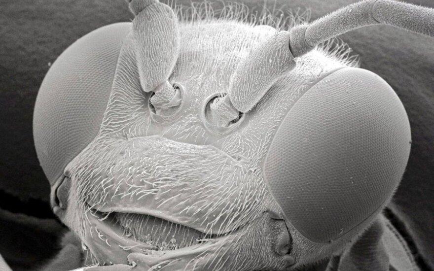 Elektroniniu mikroskopu nufotografuota vapsvos galva