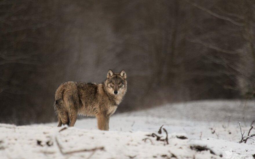 Dar galima sumedžioti du vilkus