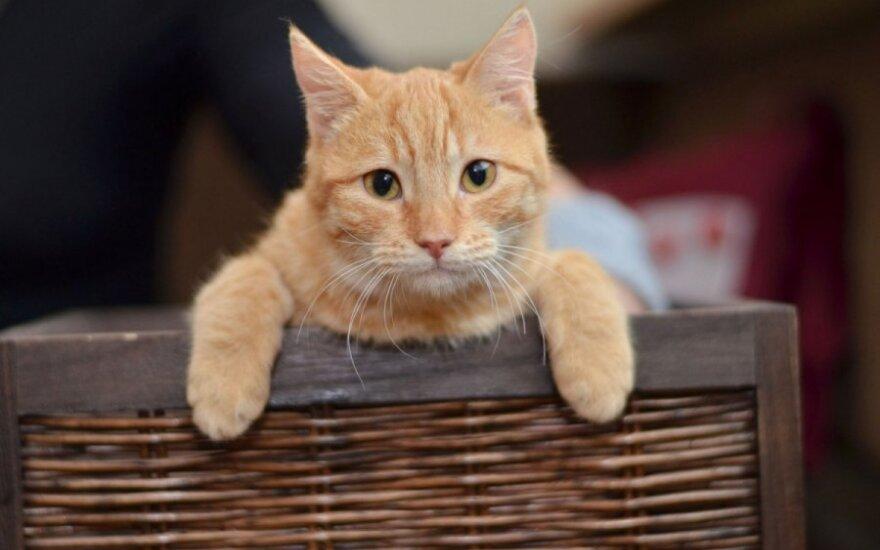 Retos spalvos 5 mėn. katytė Rusvė ieško namų!