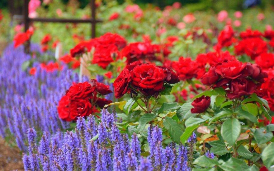 Didžiausiame Lietuvos rožyne kuriama pasaulinio lygio kolekcija