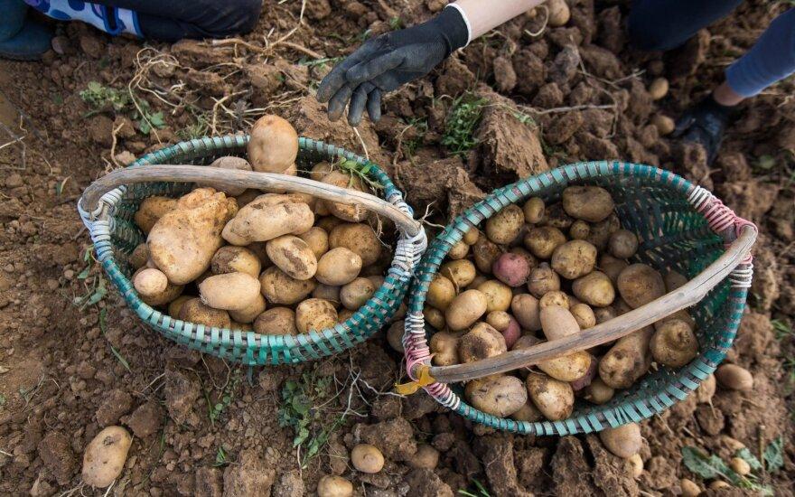 Lietuviai jau ruošiasi kasti bulves