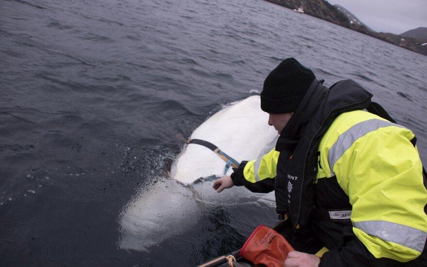 Prie Norvegijos aptiktas baltasis delfinas su diržais sukėlė nerimą: tai Rusijos karinio laivyno projektas