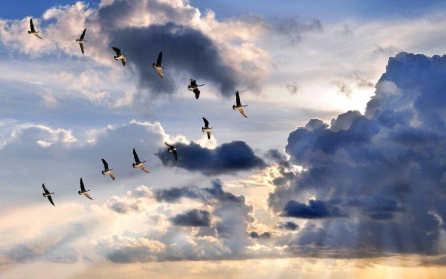 Išskrendantys paukščiai