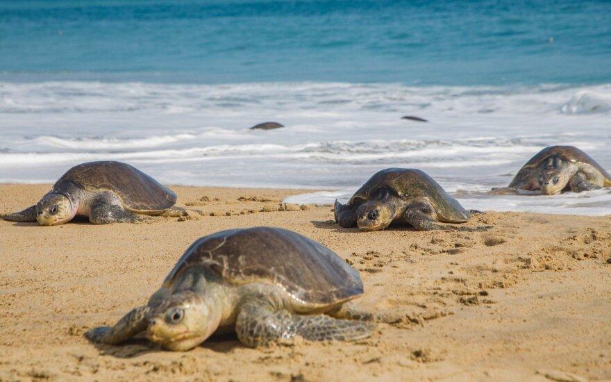 Meksikos paplūdimyje rasti 122 negyvi jūriniai vėžliai