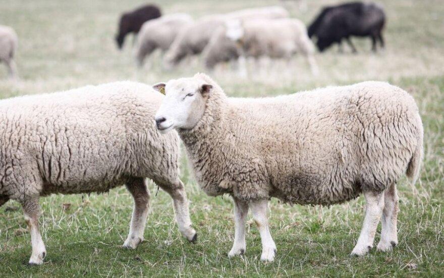 2015-ieji – Avies metai. Kas mūsų laukia, ko tikėtis?