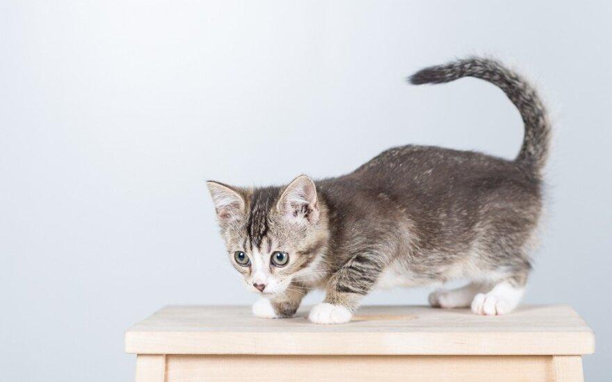 Kvintetas negali dainuoti už grotų: sveiki, skiepyti maži kačiukai – reikalinga globa!