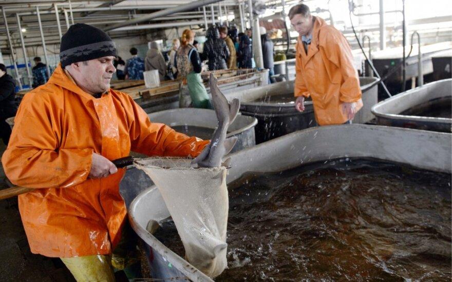 Metė darbą mokykloje ir ėmė doroti žuvis Norvegijoje