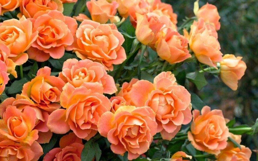 Kaip prižiūrėti rožes rudenį, kad kitąmet gausiai žydėtų