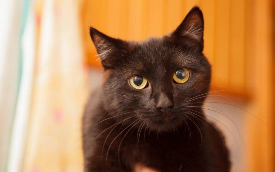 Jaunutė, sterilizuota, tobulo būdo katytė ieško namų!