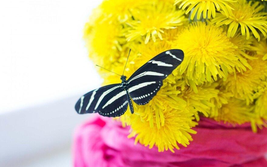 Trapus grožis: kaip ritasi ir pirmajam skrydžiui ruošiasi tropiniai drugeliai