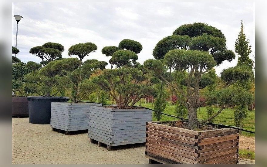 Dekoratyviniai medžiai