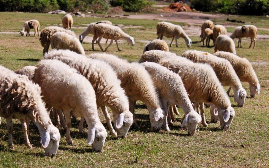 Avys populiaresnės už karves Lietuvos kaimuose
