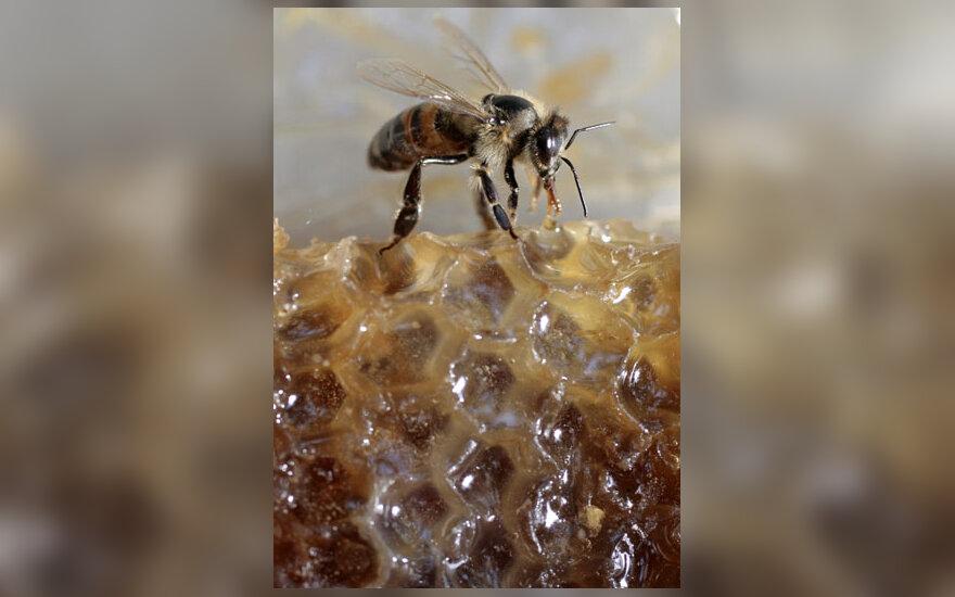 Ant korio tupinti bitė