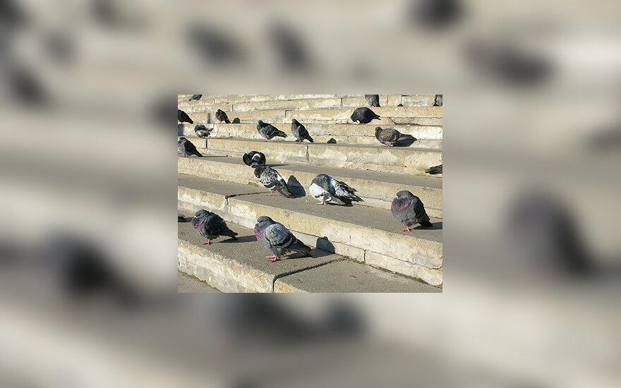 Balandžiai, paukščiai, laiptai