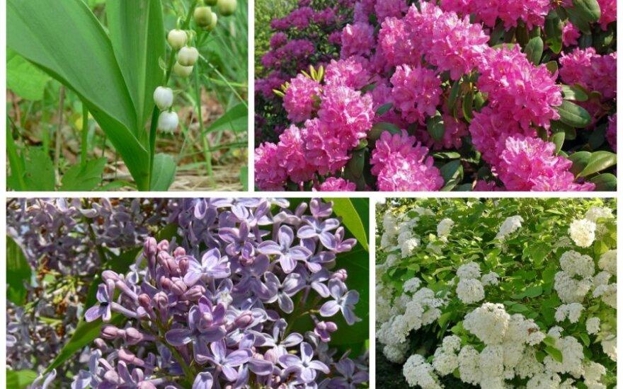 Pavojingi augalai / GRYNAS.lt fotomontažas