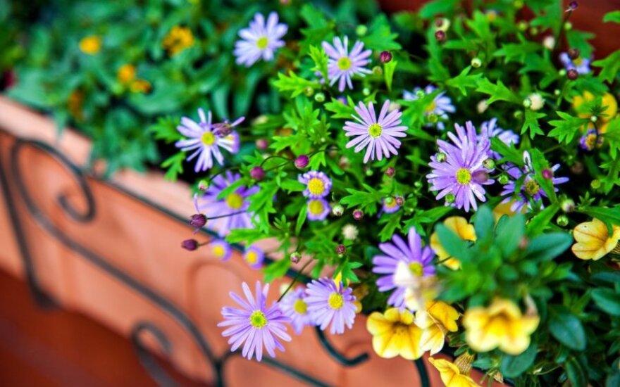 Gėlės jūsų balkone: kada sodinti ir kaip prižiūrėti, kad gausiai žydėtų
