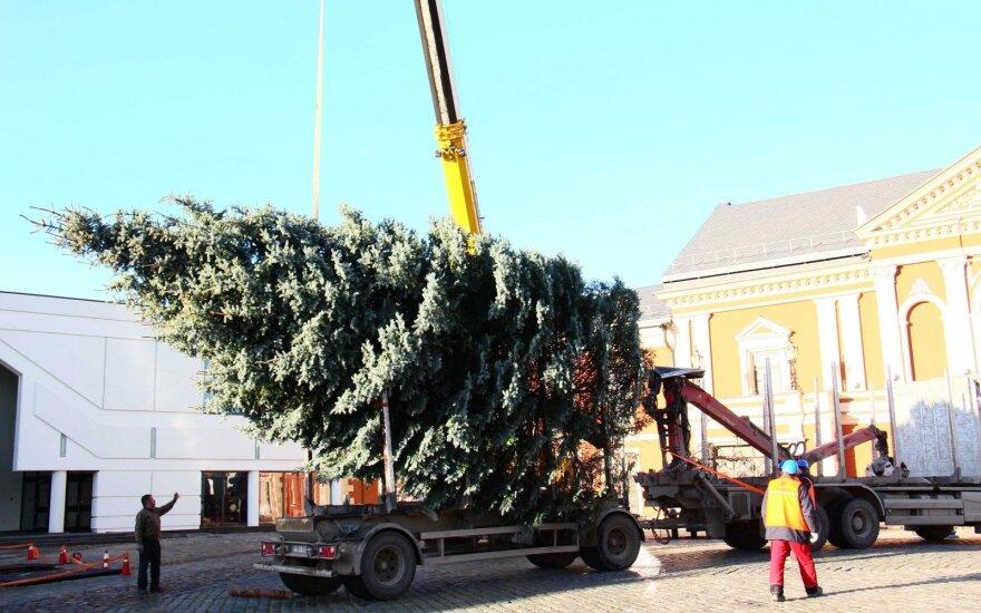 Klaipėdoje pastatyta pagrindinė miesto Kalėdų eglė
