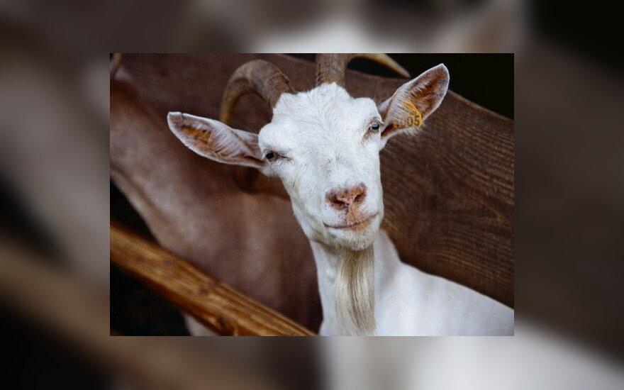 Olandijoje – ožkų gripas, 6 mirtys