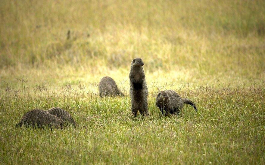 Kenijos gyvūnija