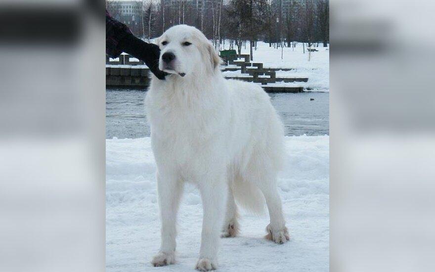 Dingo estų Pirėnų kalnų veislės šuo