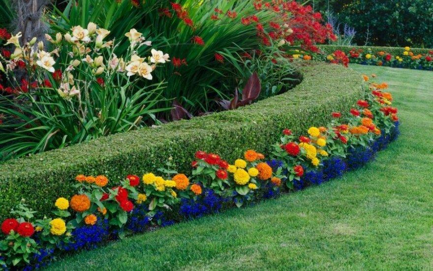 Kokie augalai tinka gyvatvorėms sode