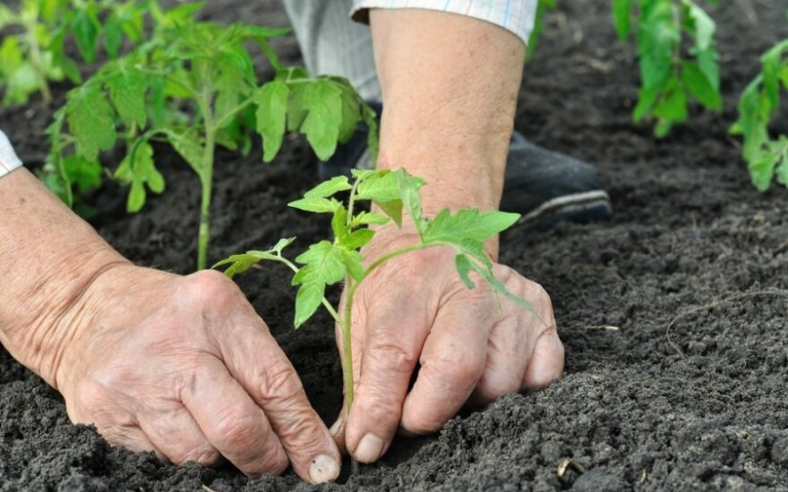 Kaip paruošti dirvą produktyviam daržui