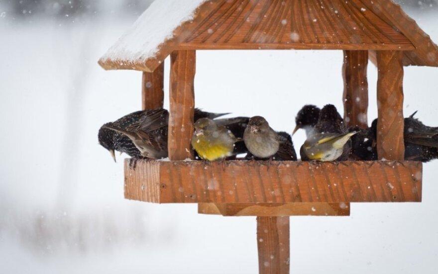 Kaip padėti paukščiams išgyventi žiemą?