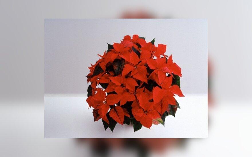 Puansetijos - Kalėdų žvaigždės namuose