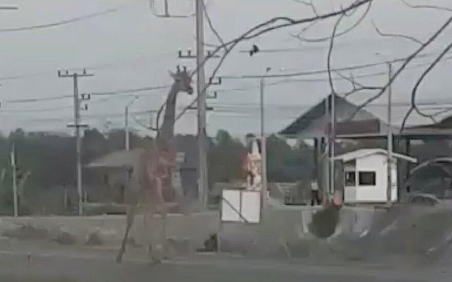 Tailande pabėgusi žirafa surasta negyva