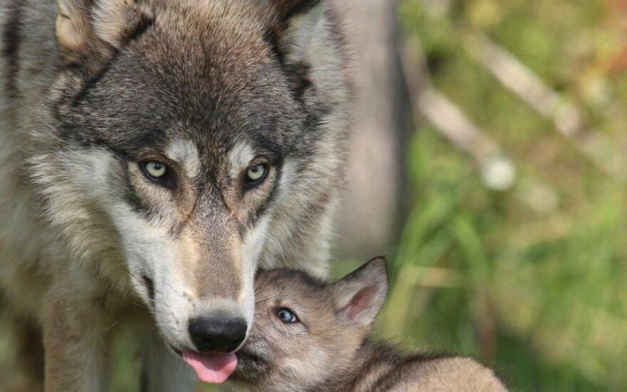 Lietuvoje šiemet oficialiai buvo suskaičiuota 50 vilkų