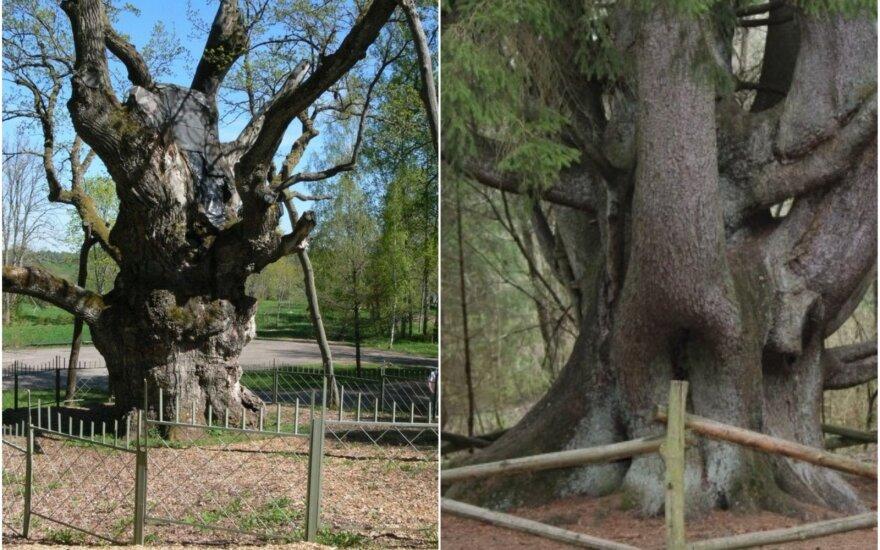 Stelmužės ąžuolas ir Raganų eglė