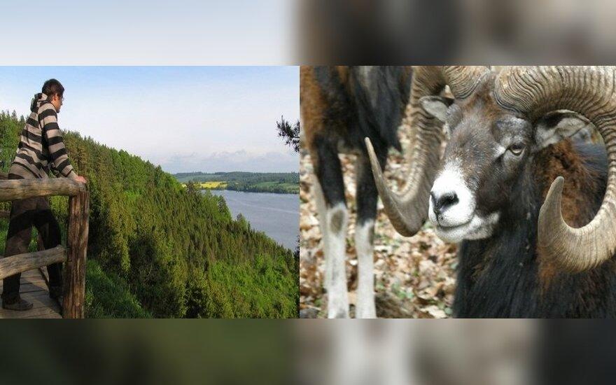 Kadagynus prižiūrės muflonai
